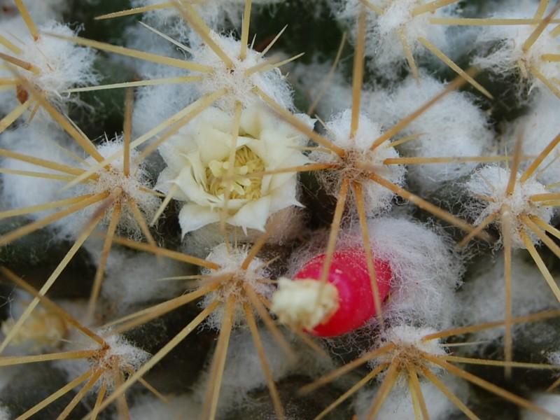 Mammillaria nivosa 1366-212