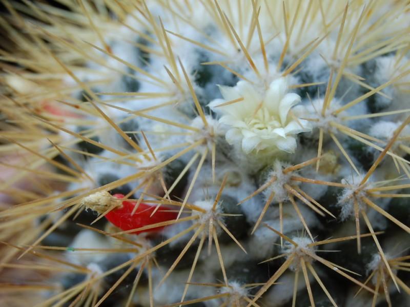 Mammillaria nivosa 1366-213