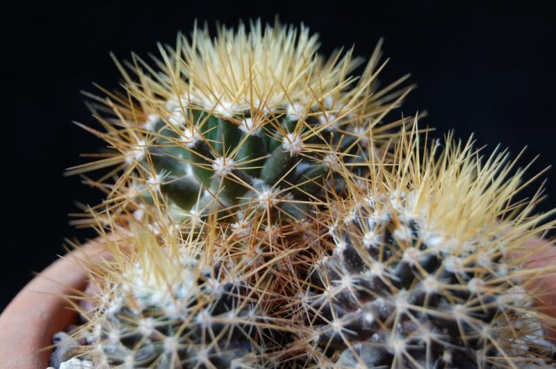 Mammillaria nivosa 1495-210