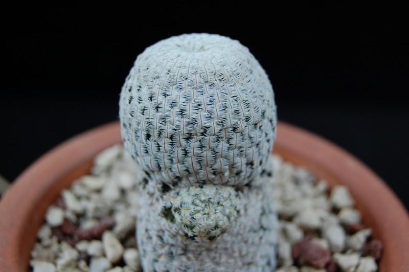 Mammillaria pectinifera 1643-210