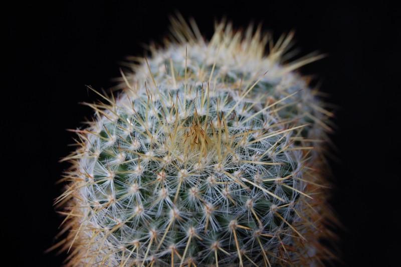 Mammillaria muehlenpfordtii 1699-211