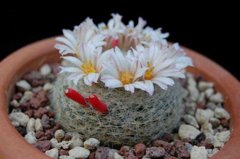 Mammillaria lenta 2221-211