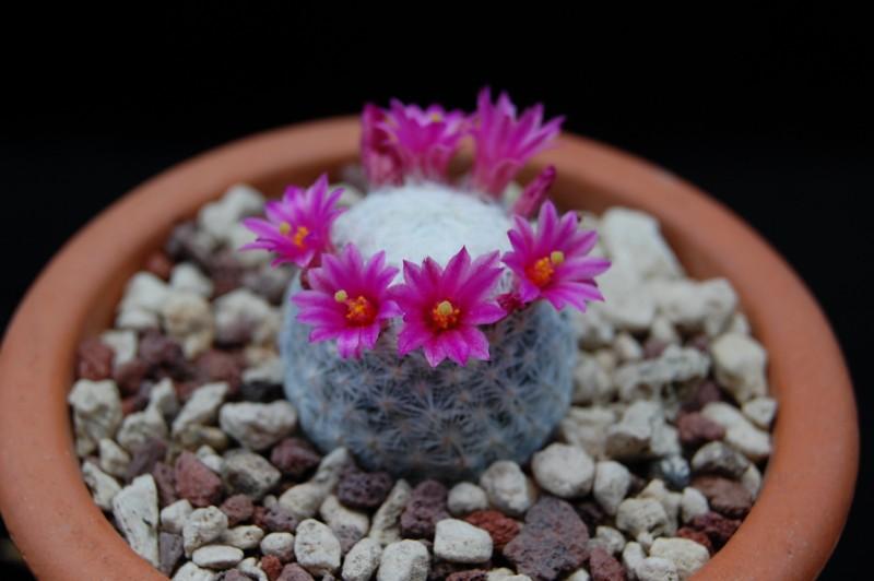Mammillaria humboldtii 2236-h10