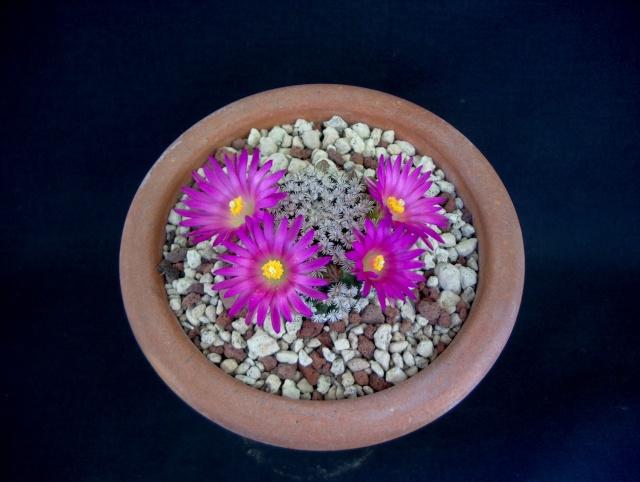 Mammillaria hernandezii 2242-210