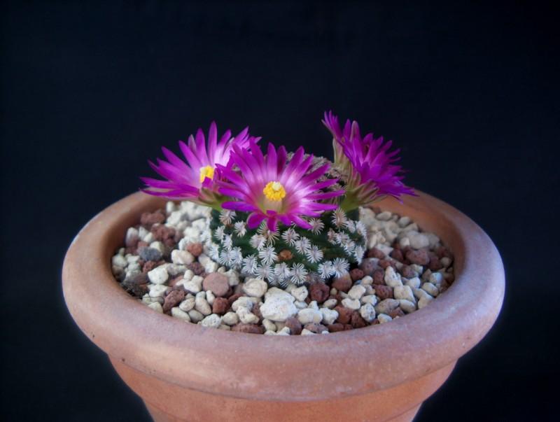 Mammillaria hernandezii 2242-211