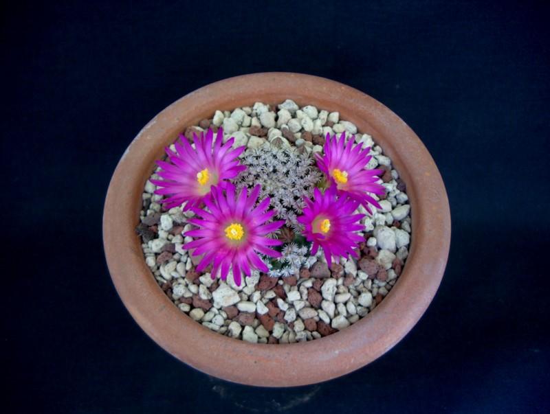 Mammillaria hernandezii 2242-212