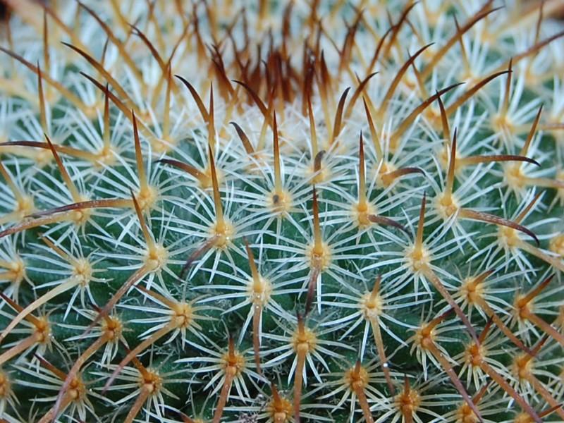 Mammillaria dixanthocentron 2274-d11