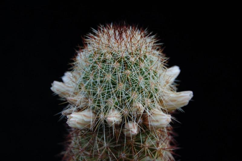 Mammillaria phitauiana 2278-212