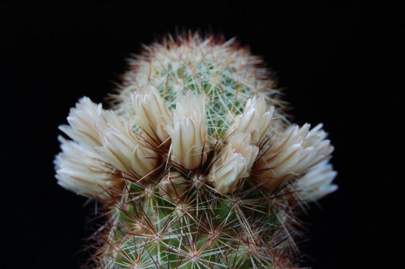 Mammillaria phitauiana 2278-214