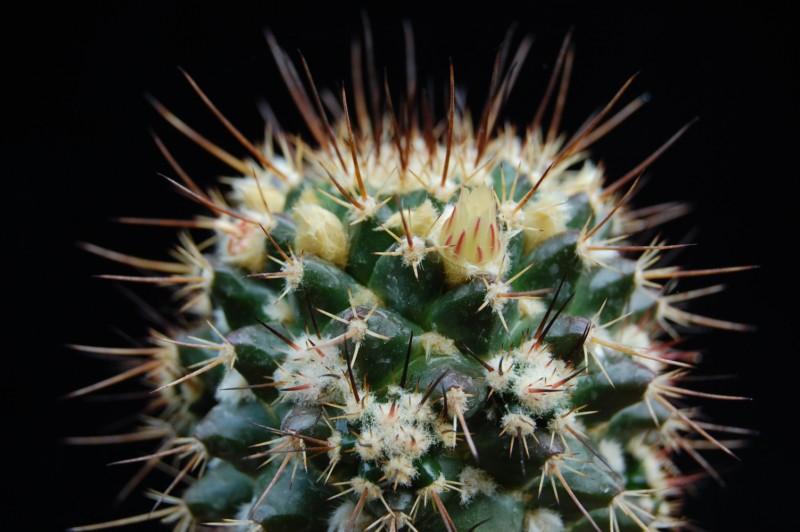 Mammillaria karwinskiana 2347-k11