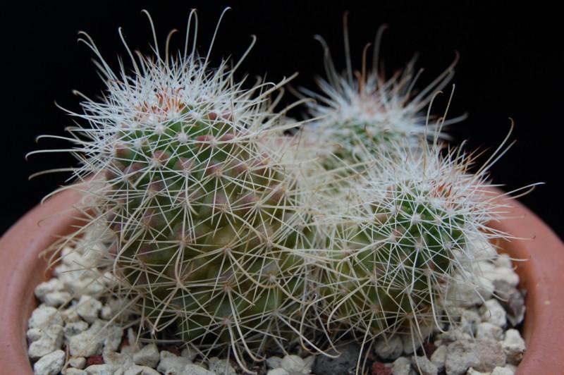 Mammillaria pondii 2358-210