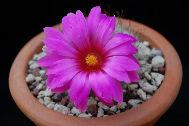 Mammillaria guelzowiana 2368-g11