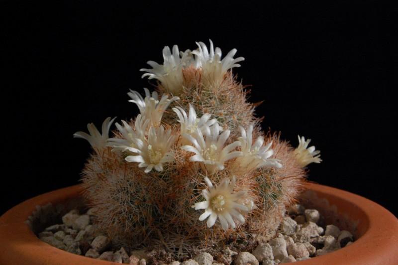 Mammillaria magallanii 2403-213