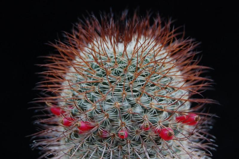 huitzilopochtli - Mammillaria huitzilopochtli 2415-h12