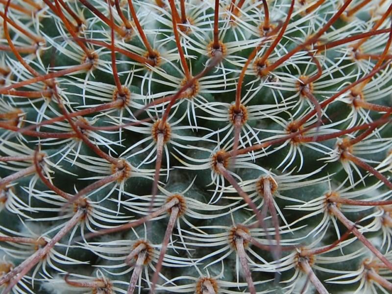 huitzilopochtli - Mammillaria huitzilopochtli 2415-h13