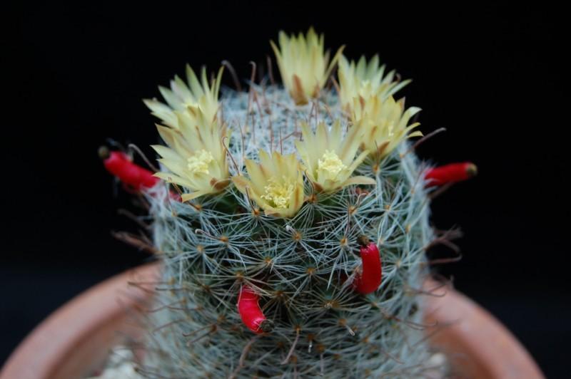 Mammillaria nana 2423-n11