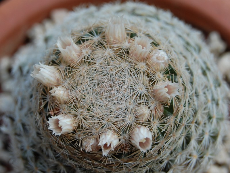Mammillaria neobertrandiana 2433-n11