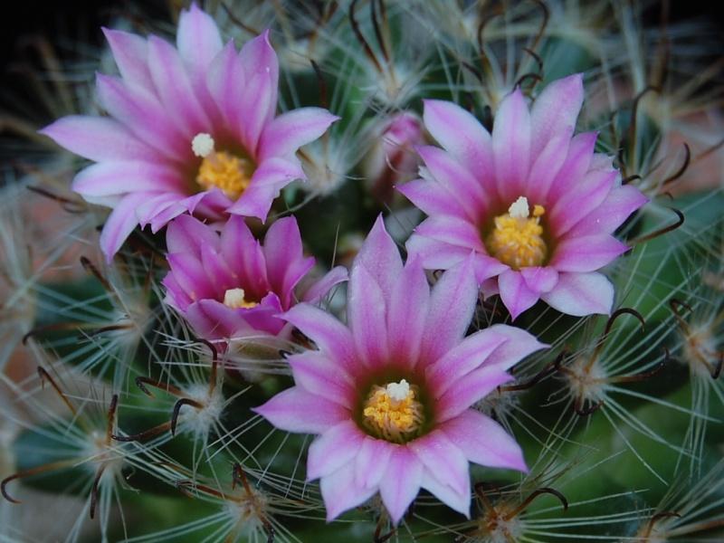 Mammillaria tepexicensis 2449-211