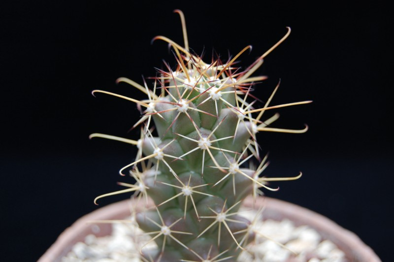 Mammillaria poselgeri 2457-210