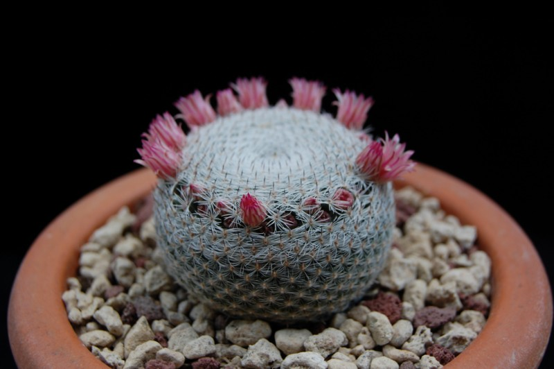 Mammillaria pseudoperbella 2485-211
