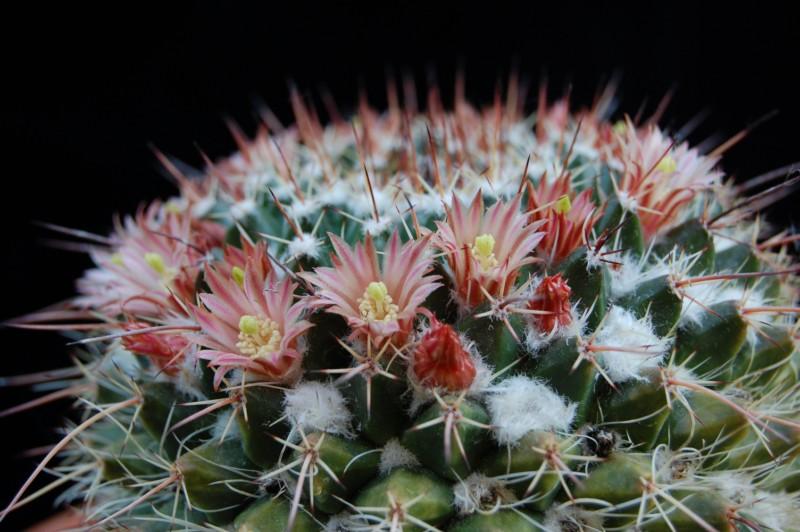 Mammillaria multiseta 2526-210