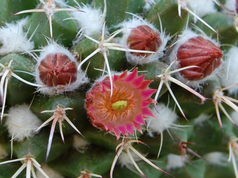 Mammillaria multiseta 2527-211