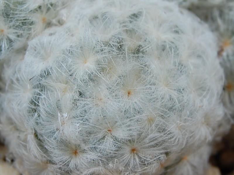 Mammillaria plumosa 2528-210