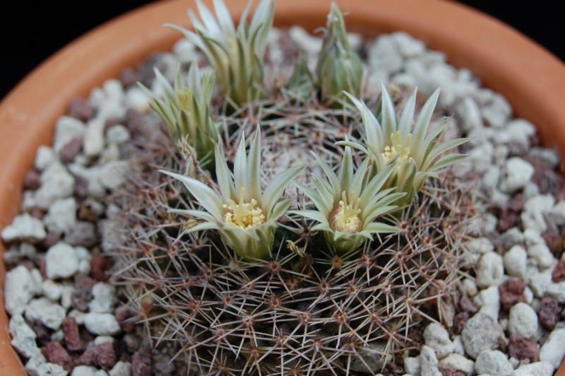 Mammillaria heyderi 2536-h10