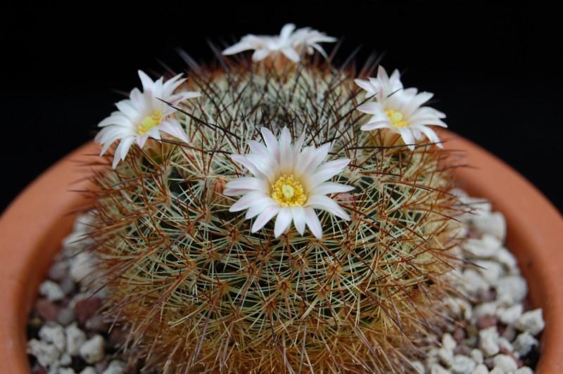 Mammillaria discolor 2545-d10