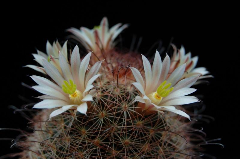 Mammillaria carretii 2565-c12