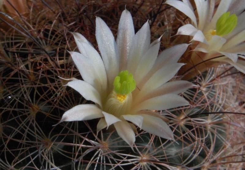 Mammillaria carretii 2565-c14
