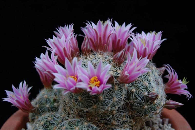 Mammillaria grahamii 2568-210