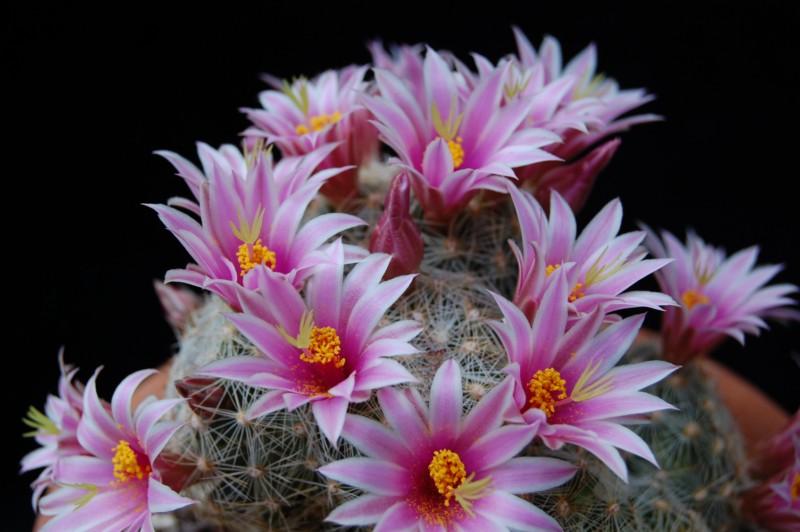 Mammillaria grahamii 2568-211