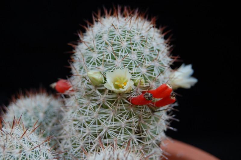 Mammillaria multidigitata 2569-210