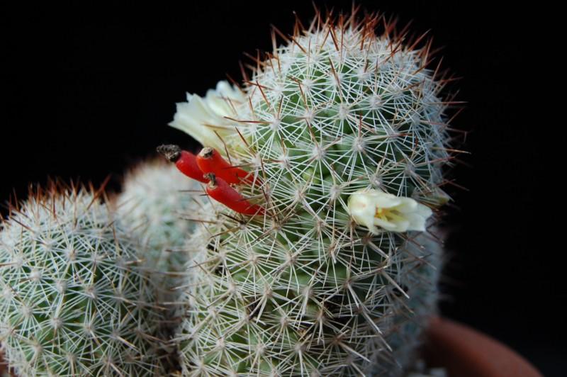 Mammillaria multidigitata 2569-211