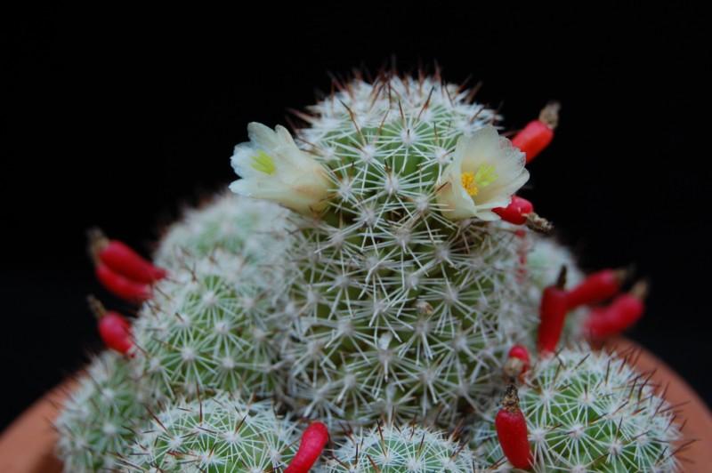 Mammillaria multidigitata 2588-211