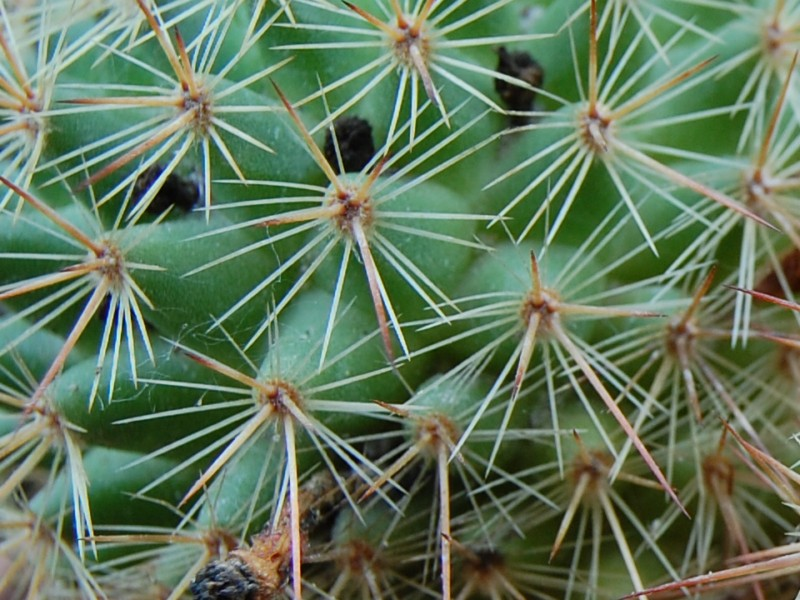 Mammillaria kladiwae 2598-k12
