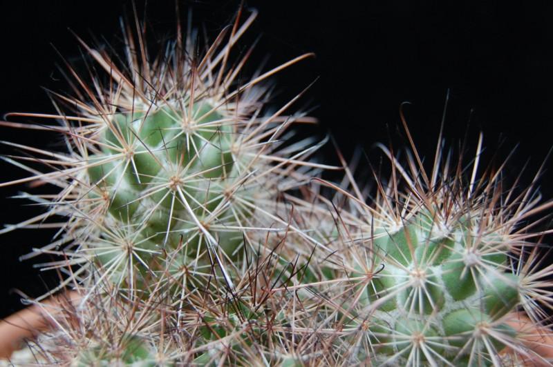 Mammillaria pondii 2617-210