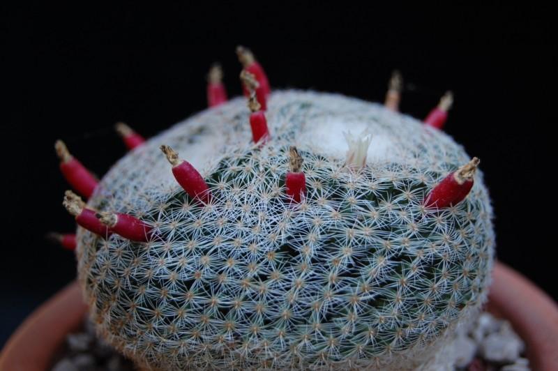 Mammillaria formosa 2619-210