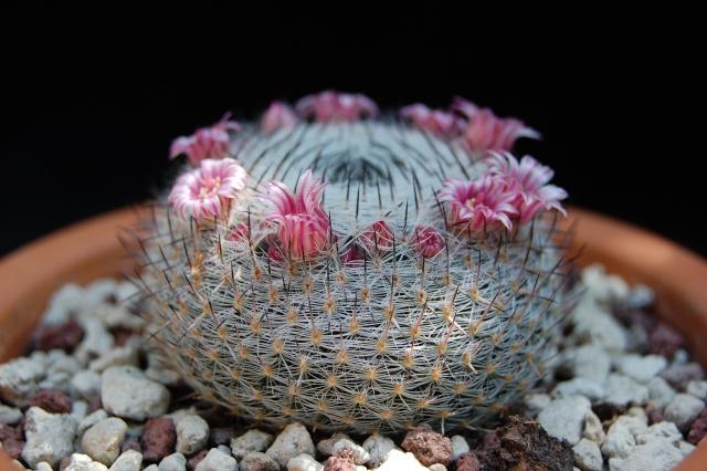 Mammillaria pseudoperbella ( Quehl) 2640-211