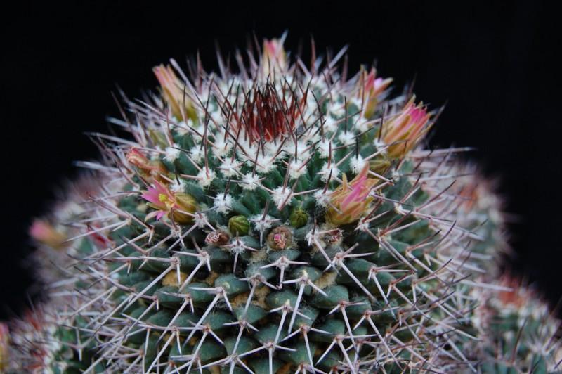 Mammillaria carnea 2643-c13