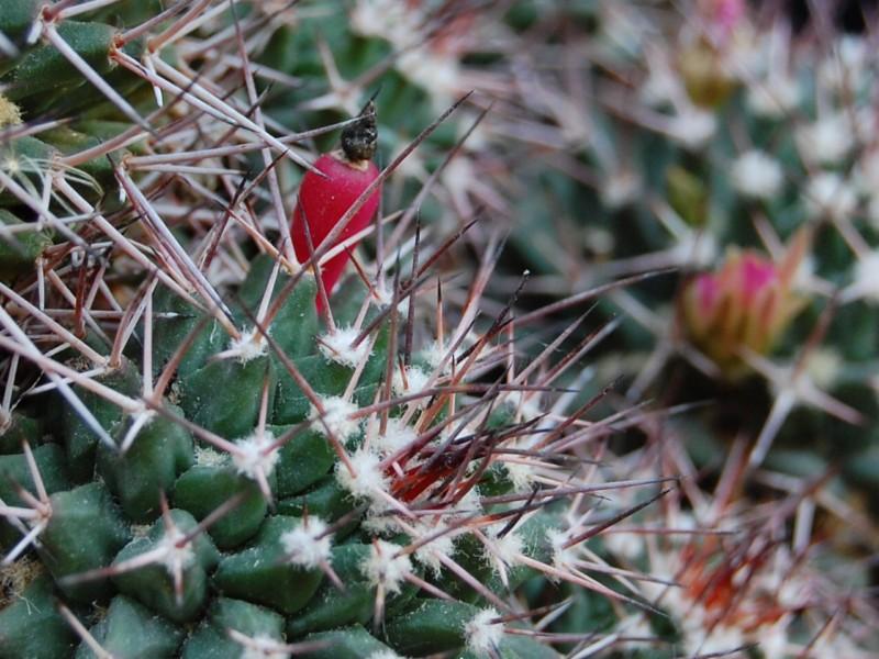 Mammillaria carnea 2643-c14