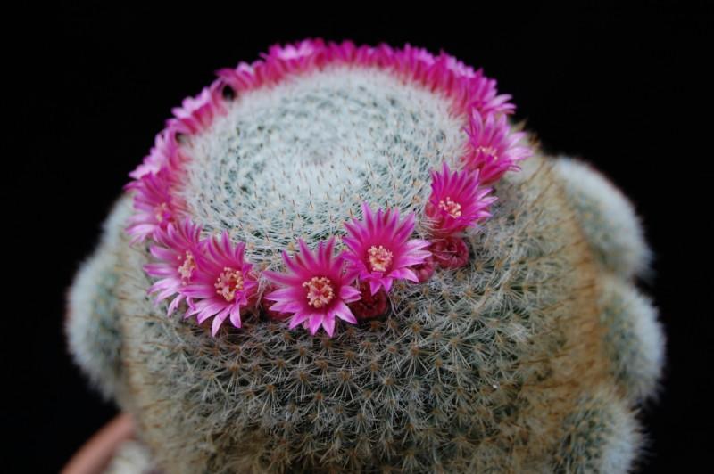 Mammillaria klissingiana 2655-214
