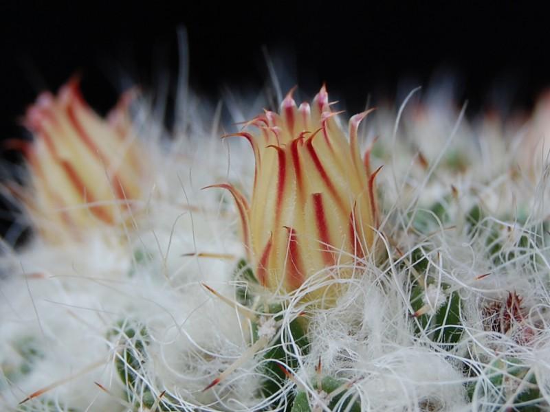 Mammillaria karwinskiana 271-ka14
