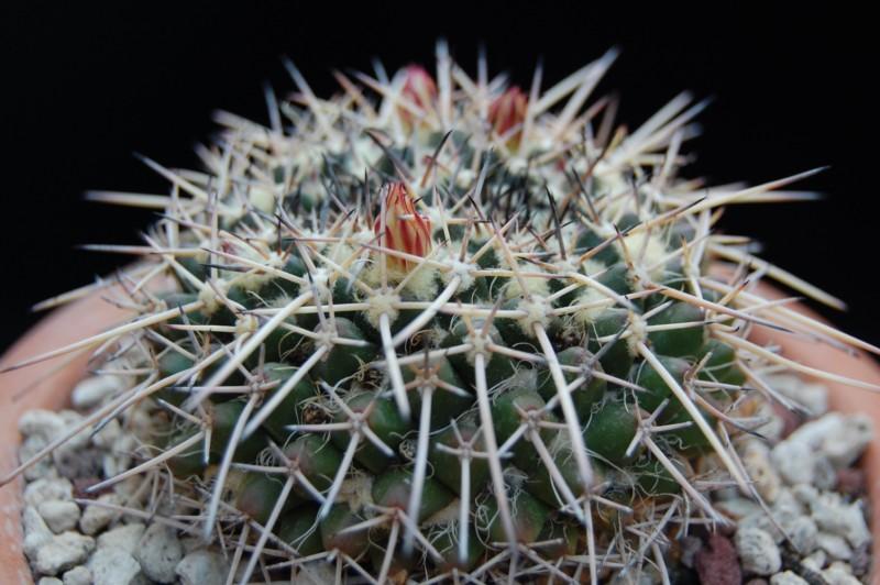 Mammillaria praelii 2735-210