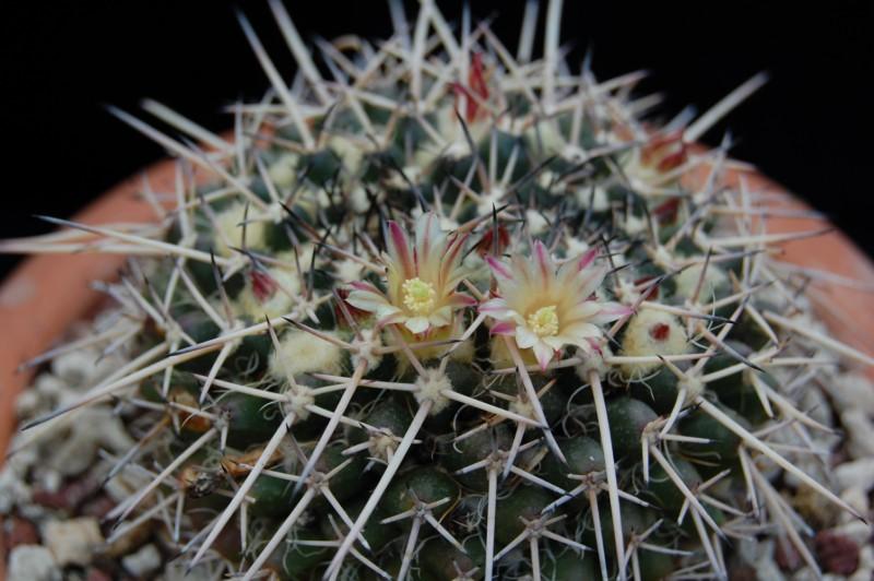 Mammillaria praelii 2735-212