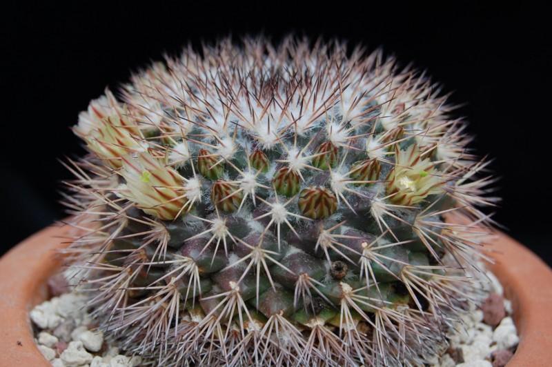 Mammillaria neoschwarzeana 2739-n10