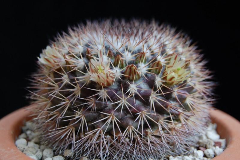 Mammillaria neoschwarzeana 2739-n11