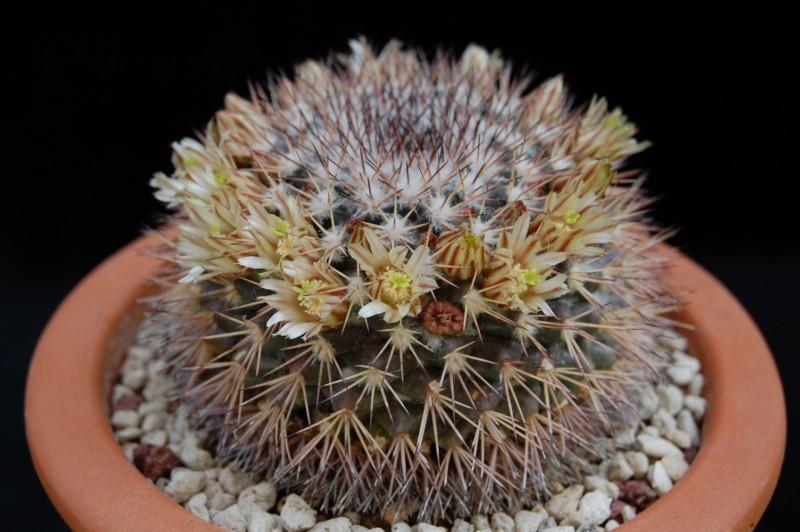 Mammillaria neoschwarzeana 2739-n12