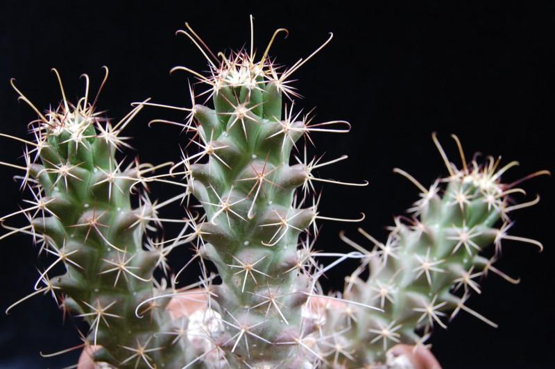 Mammillaria poselgeri 2751-210